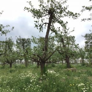 oude saint remy perenboom fruitboom