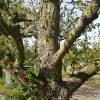 Doyenne du Comice 45 jaar perenboom