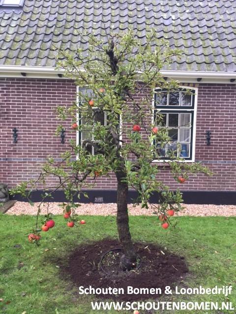 Foto van de website van Schouten Bomen & Loonbedrijf (www.schoutenbomen.nl) van een oude Elstar, 20 jaar oude appelboom