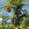 Elstar, 20 jaar appelboom