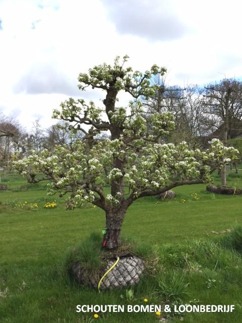 oude perenboom fruitboom