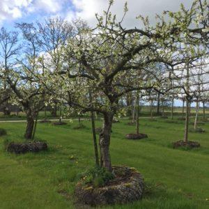 oude pruimenboom Reine Victoria
