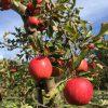 oude laagstam appelboom Elstar