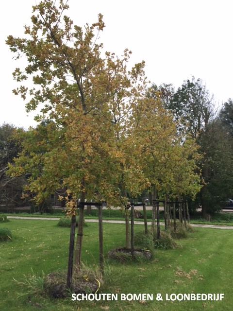 zomereik eikenboom