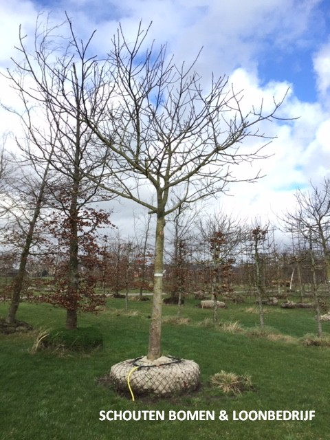 oude walnootboom