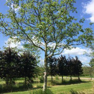 grote walnootboom
