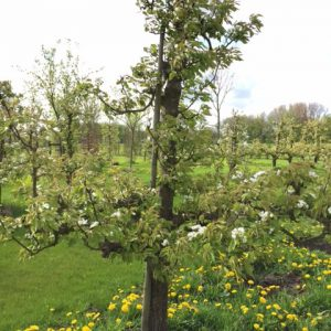 oude conference perenboom fruitboom
