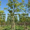 Walnoot ca. 20 jaar notenboom