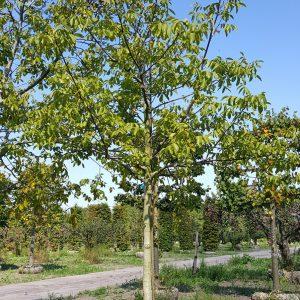 Foto van de website van Schouten Bomen & Loonbedrijf (www.schoutenbomen.nl) van een oude walnoot/ oude walnootboom