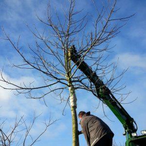 Walnootbomen rooien (februari 2016)