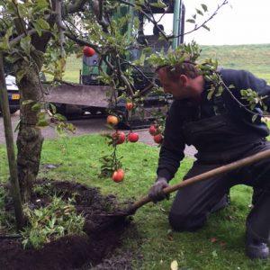 Oude appelboom (Elstar) planten in Andijk (oktober 2016)