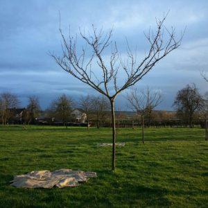 Pruimenbomen rooien in Limburg (februari 2016)