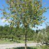 Foto van de website van Schouten Bomen & Loonbedrijf (www.schoutenbomen.nl) van een sierboom Linde / Lindeboom