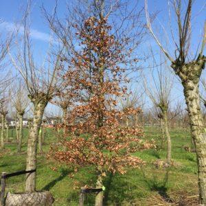 Foto van de website van Schouten Bomen & Loonbedrijf (www.schoutenbomen.nl) van een groene beuk