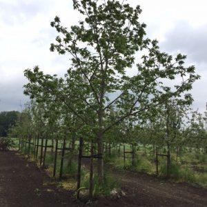 Tamme Kastanje Schouten Bomen