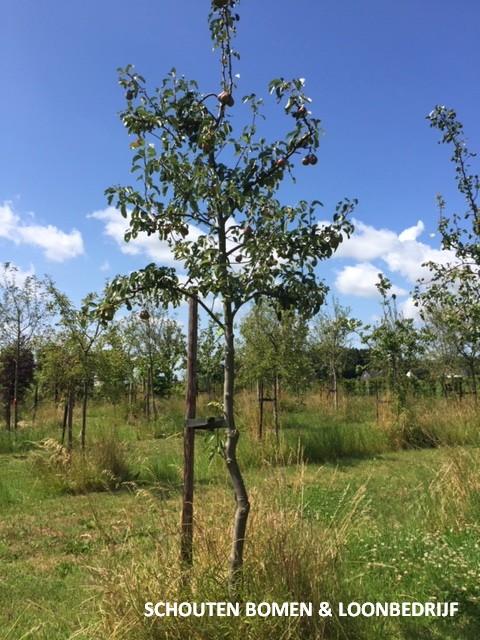 hoogstam perenbomen