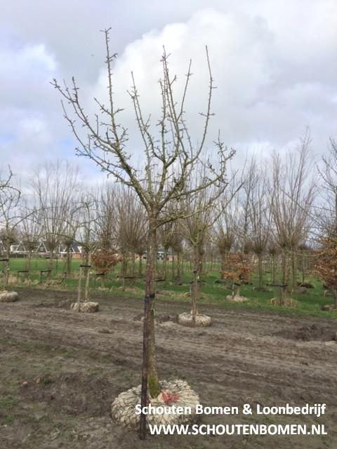 hoogstam perenboom fruitboom