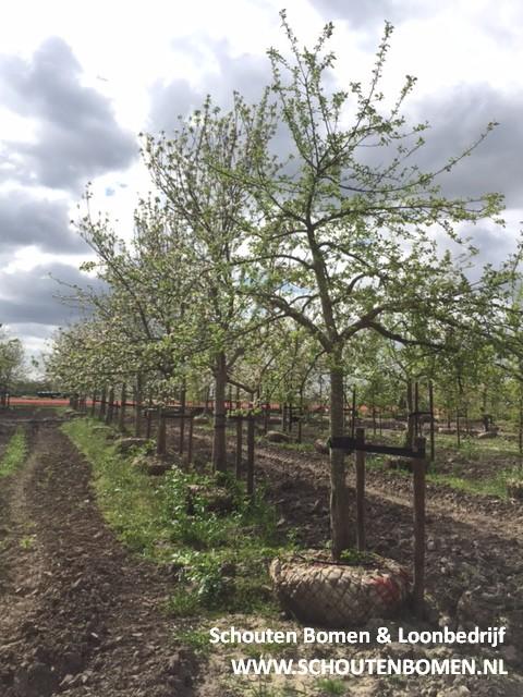 hoogstam appelbomen