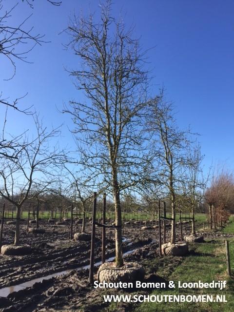oude hoogstam perenboom fruitboom