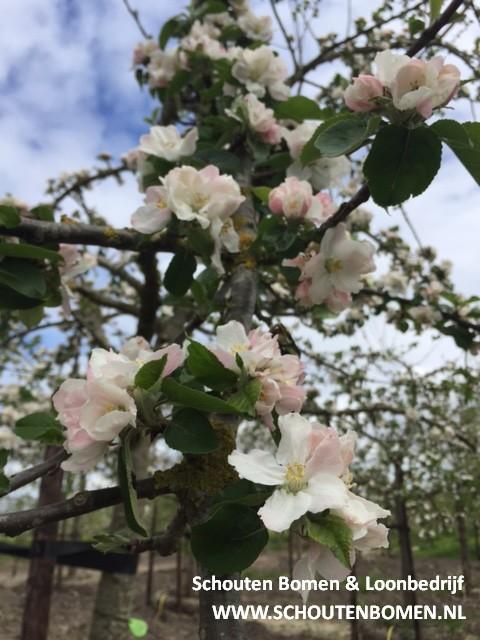 appel bomen nederland
