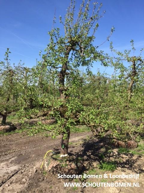 oude perenboom fruitboom stoofpeer saint remy