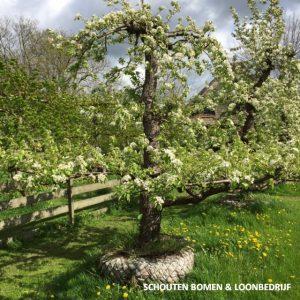grote perenboom oude fruitboom