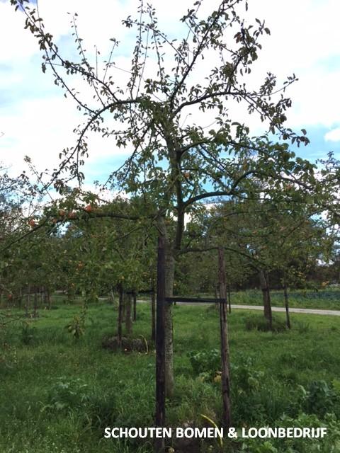 oude hoogstam appelboom