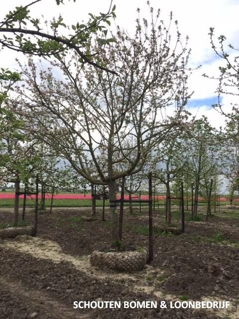 grote hoogstam appelboom