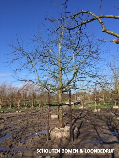 grote hoogstam appelboom Malus
