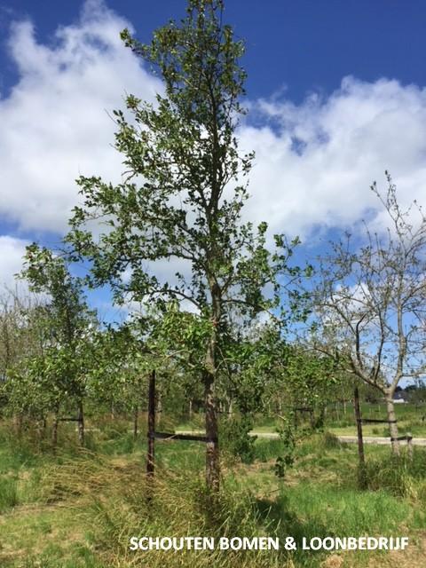 volwassen perenboom
