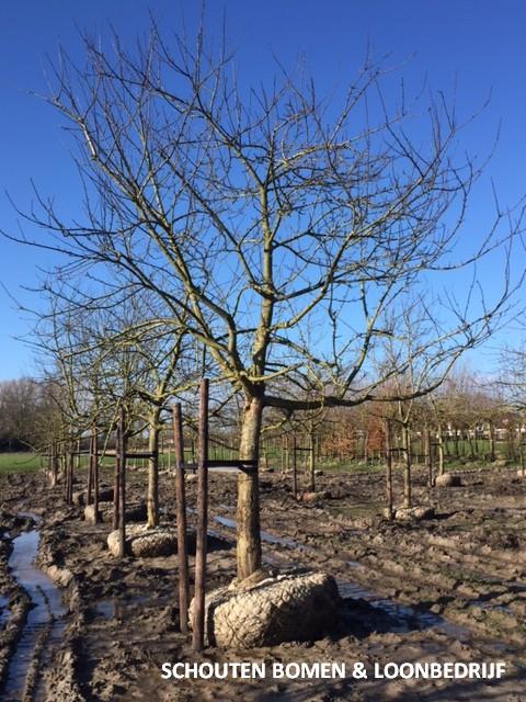 grote appelboom hoogstam Malus volwassen appelboom