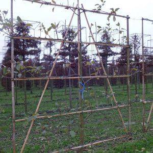 leifruitbomen