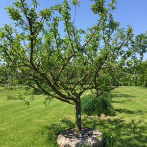 oude halfstam pruimenbomen