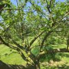 oude pruimenboom fruitboom