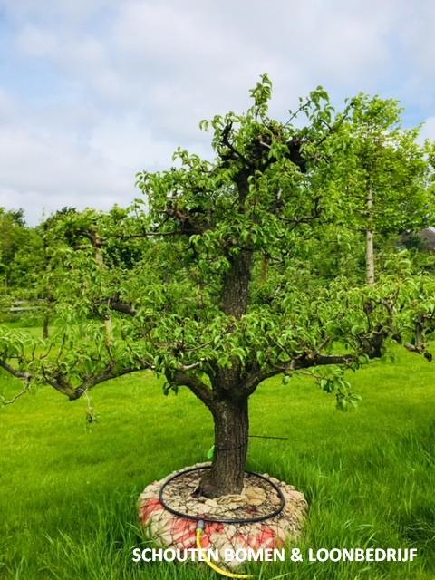 laagstam perenboom fruitboom