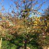 laagstam appelboom