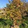 oude appelboom goudreinet