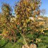 oude appelboom Elstar