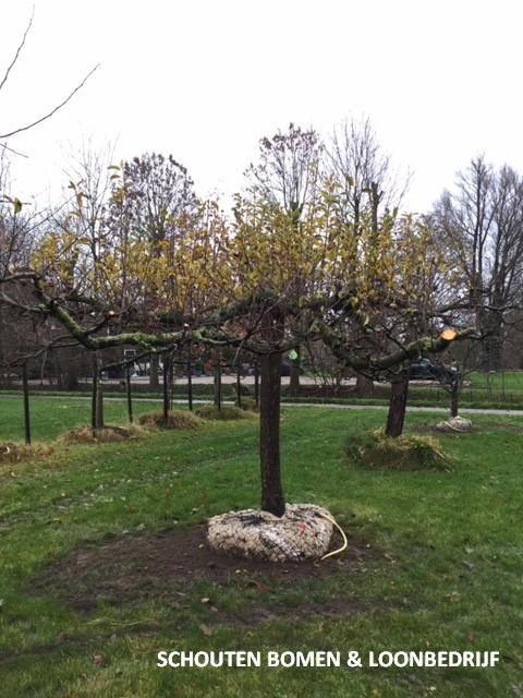 hoogstam appelboom Elstar