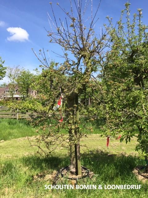 oude appelboom