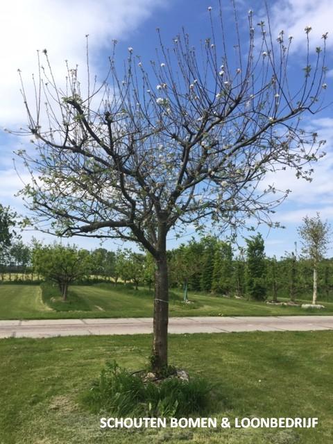 hoogstam appelboom