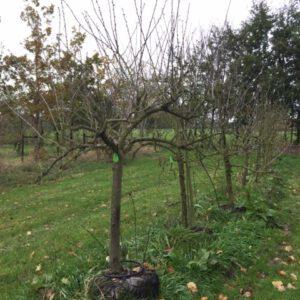 pruimenbomen