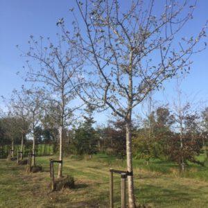 grote appelboom