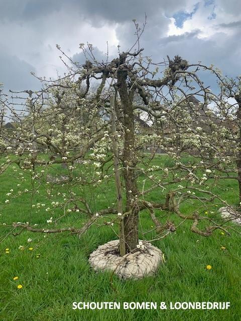 oude perenboom triumph de vienne