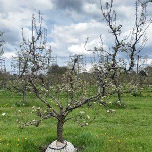 oude perenboom